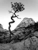 Twisted tree, Checkerboard Mesa, Zion National Park.